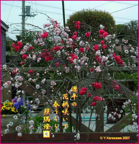 0331源平枝垂桃