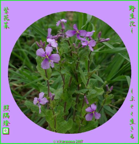 0405紫花菜