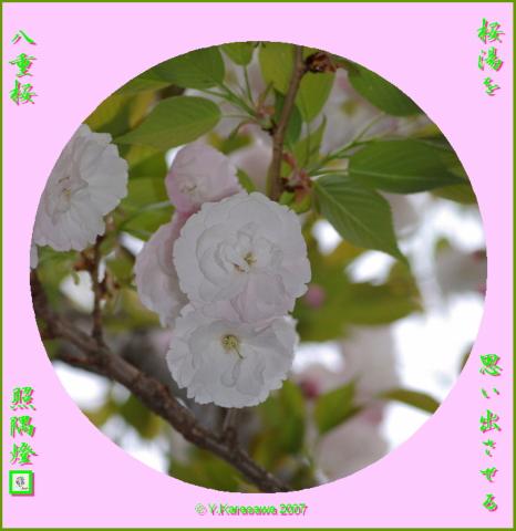 0411八重桜