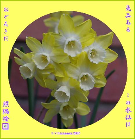 0413房咲き水仙白クリーム