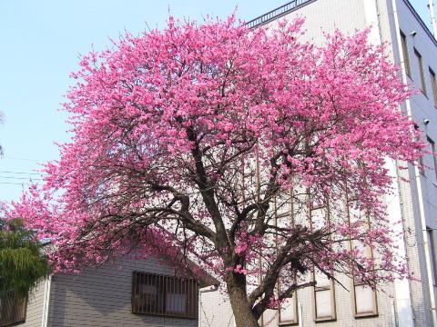 菊桃の大木