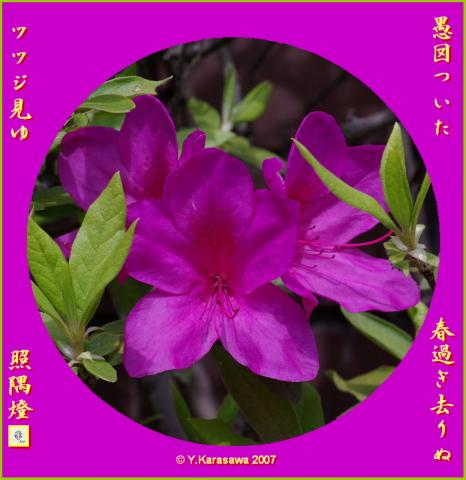 0421大紫躑躅