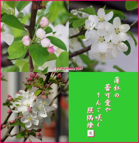 0502りんごの花
