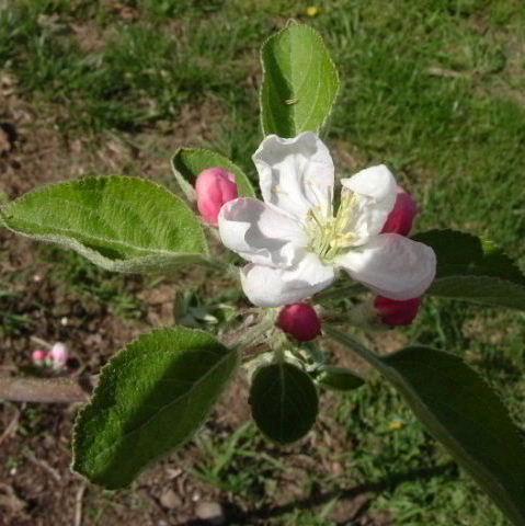 0502りんごの花byKK