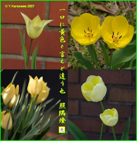 0517黄色いチューリップ