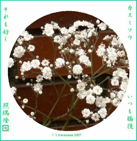 0521宿根カスミ草