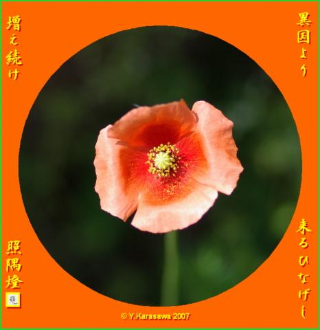 0529長実雛罌粟