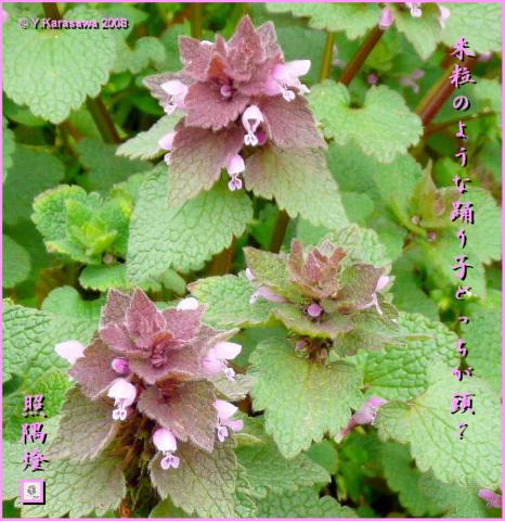 0115姫踊り子草