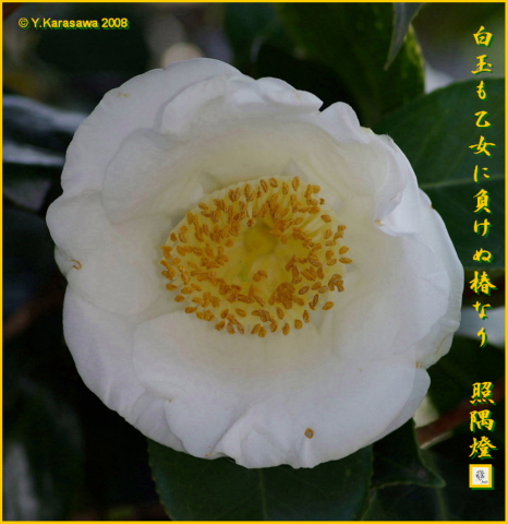 0120白玉椿