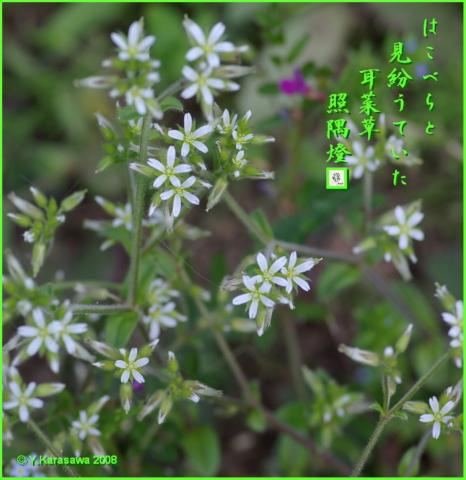 0125耳菜草