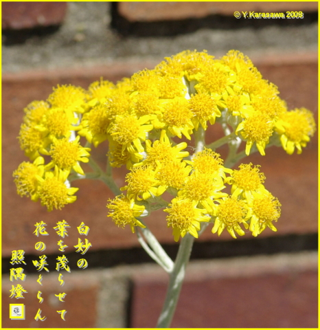 0131白妙菊