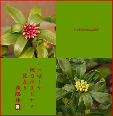080210沈丁花