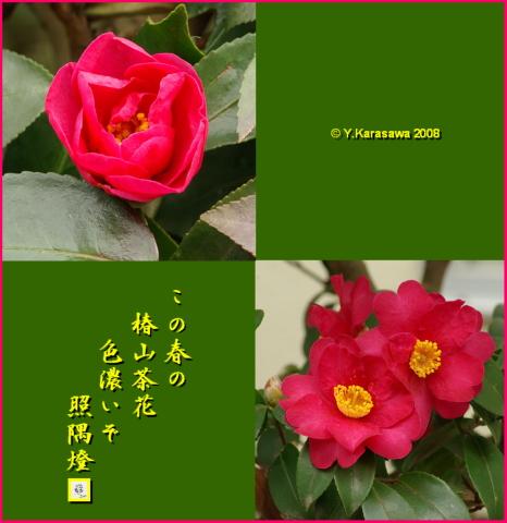 080223椿山茶花