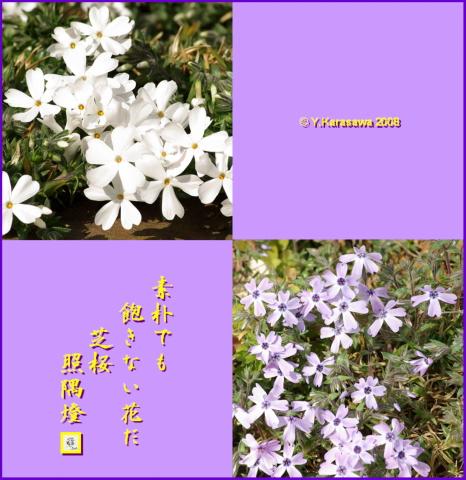 080318芝桜
