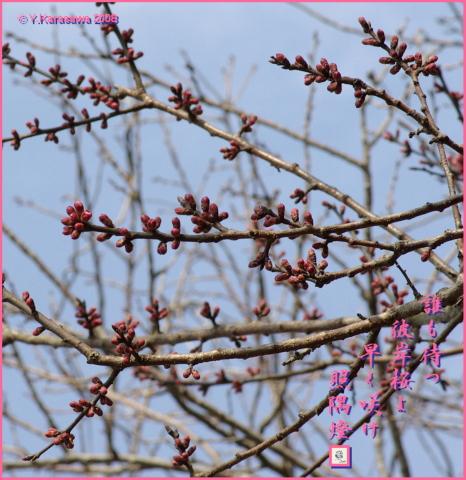 080321彼岸桜