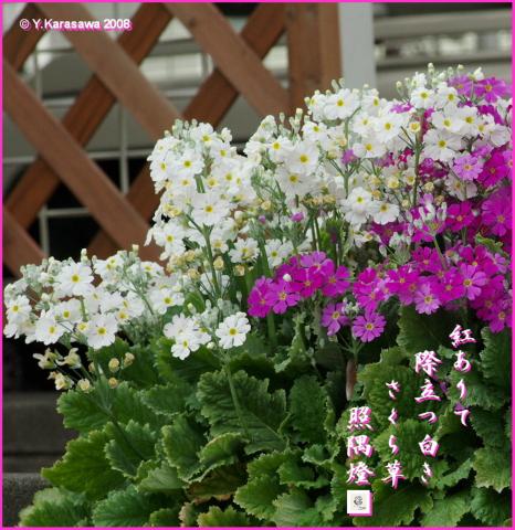 080326桜草白