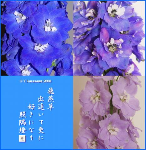 080329飛燕草