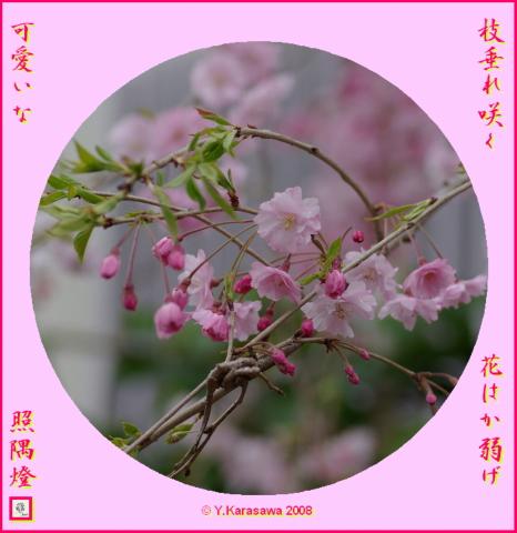 080330枝垂桜