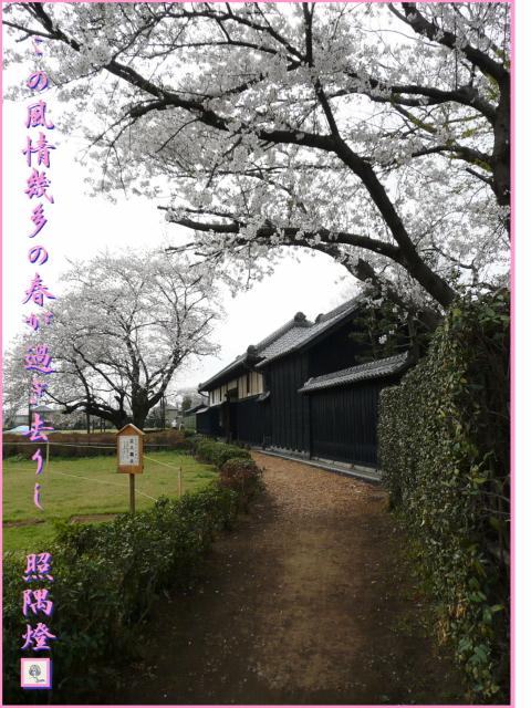 080402旧吉田邸の桜と黒板塀