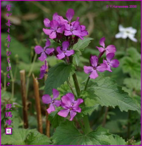 080405紫花菜