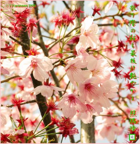 080409桜