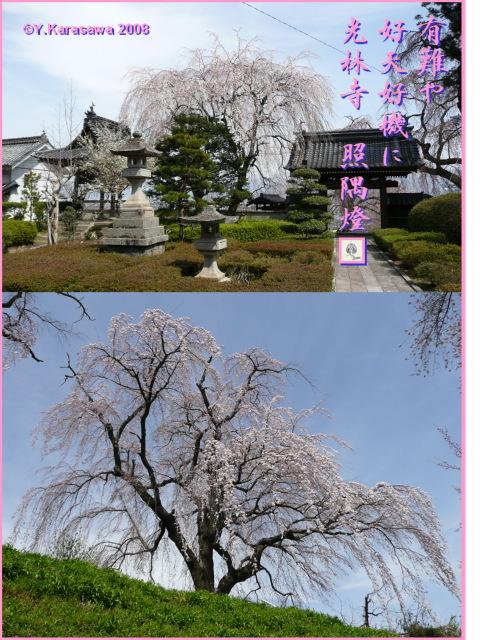 080414光林寺枝垂桜