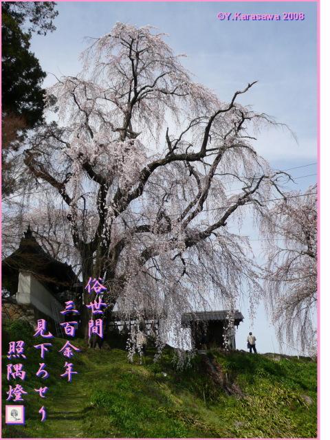 080417光林寺枝垂桜