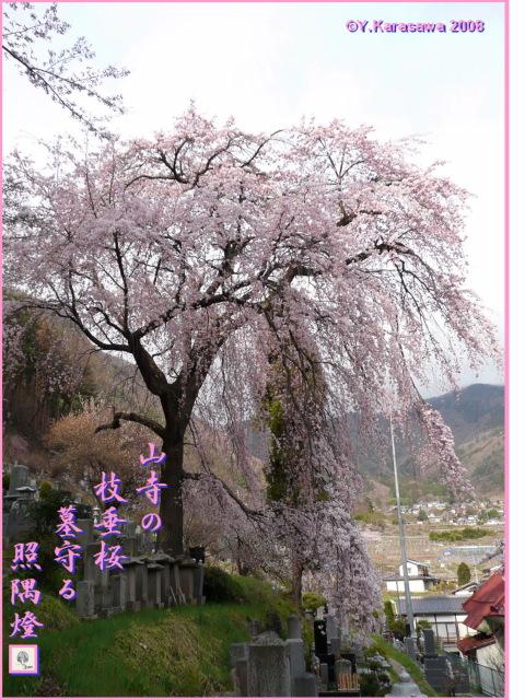 080419山寺枝垂桜
