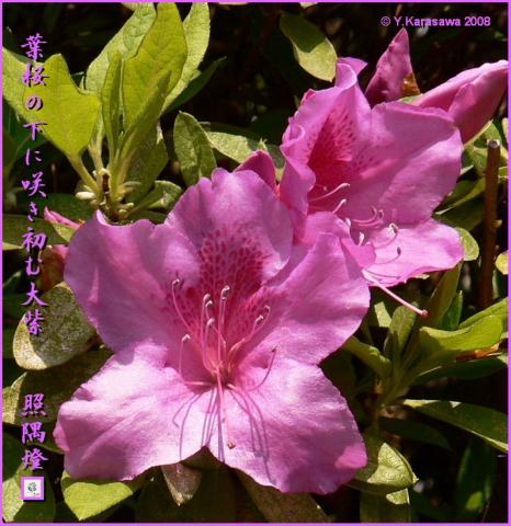 080421大紫躑躅