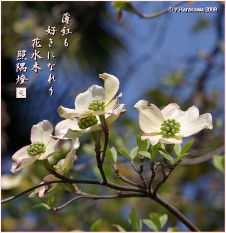 080423花水木