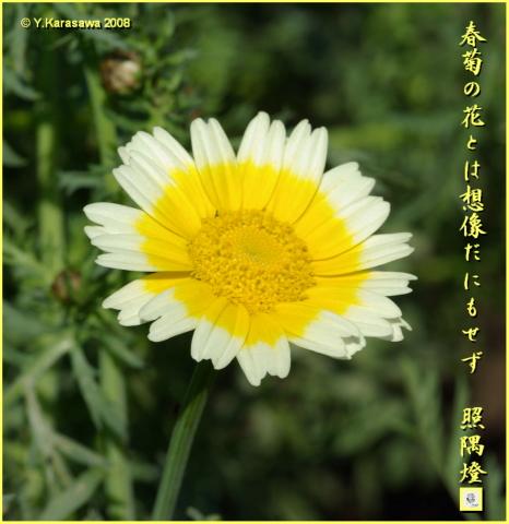 080428春菊