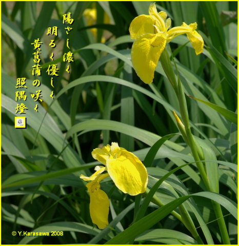 080504黄菖蒲