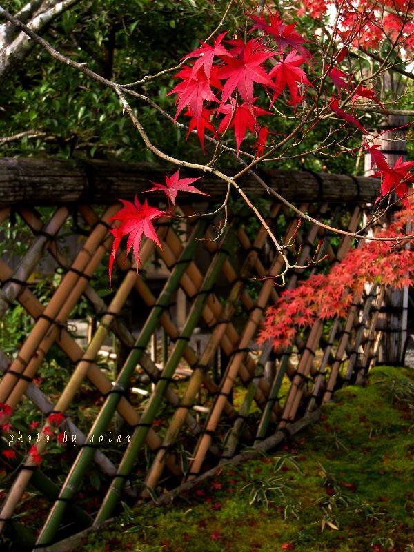 光悦垣と紅葉1