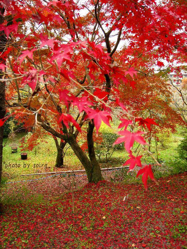 原谷苑の紅葉1