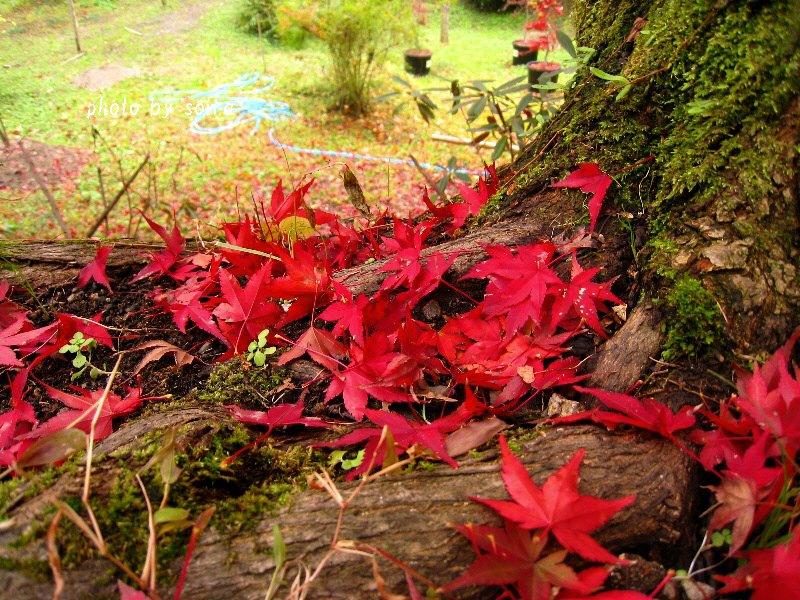 原谷苑の散紅葉1