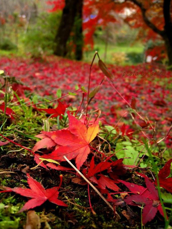 原谷苑の散紅葉2