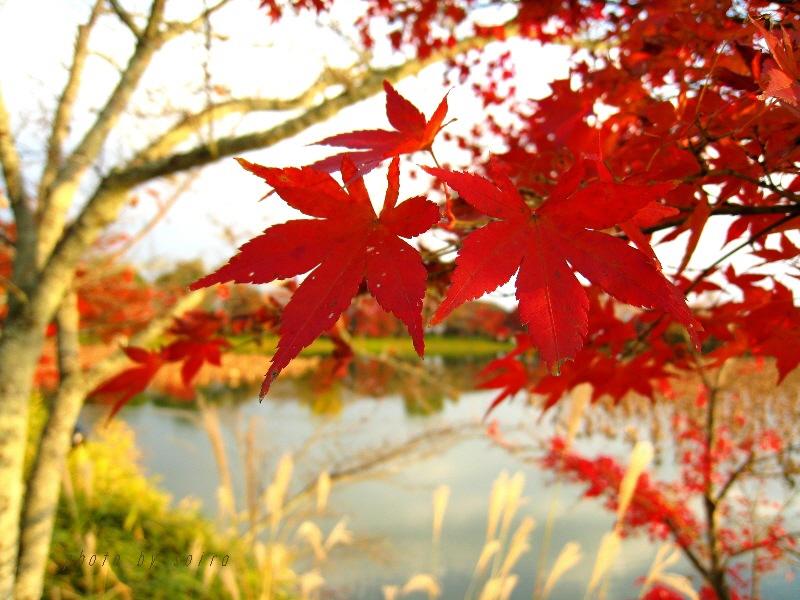 天神島の紅葉とススキ