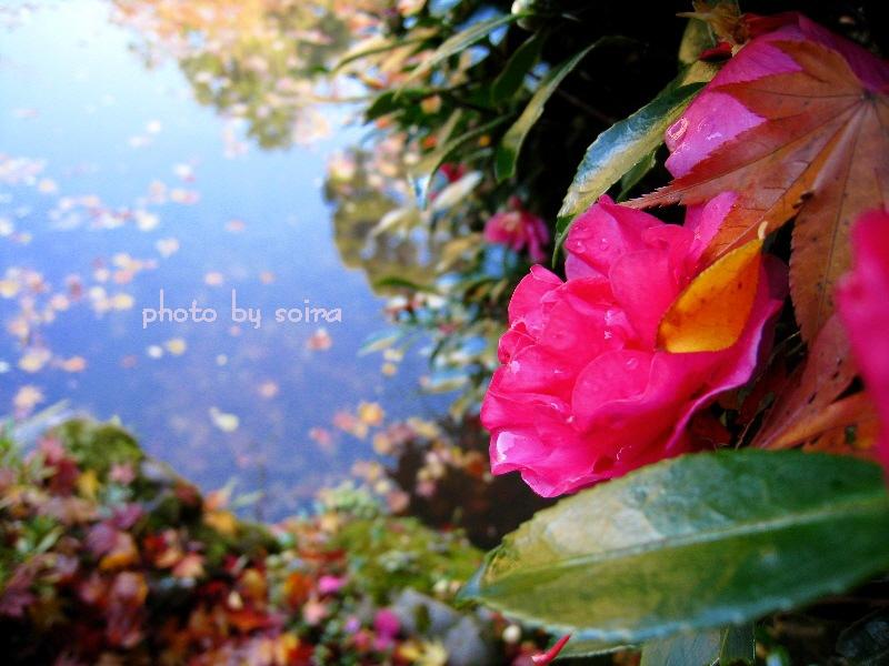 池の畔の山茶花