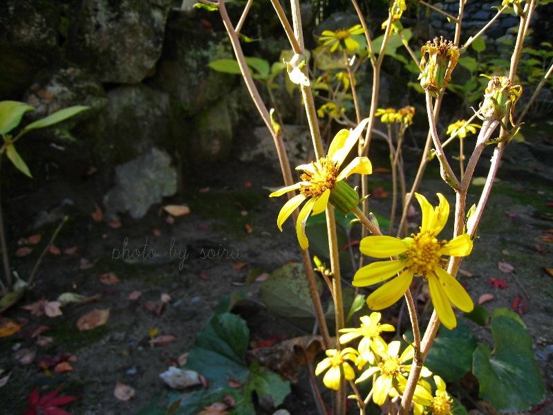 咲き残る石蕗