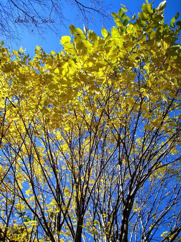 菩提樹の黄葉