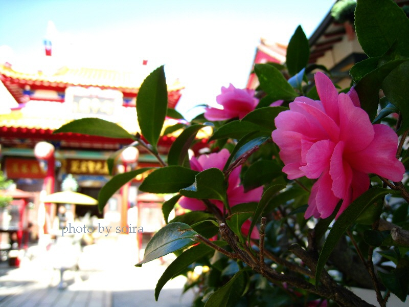 山茶花と本堂