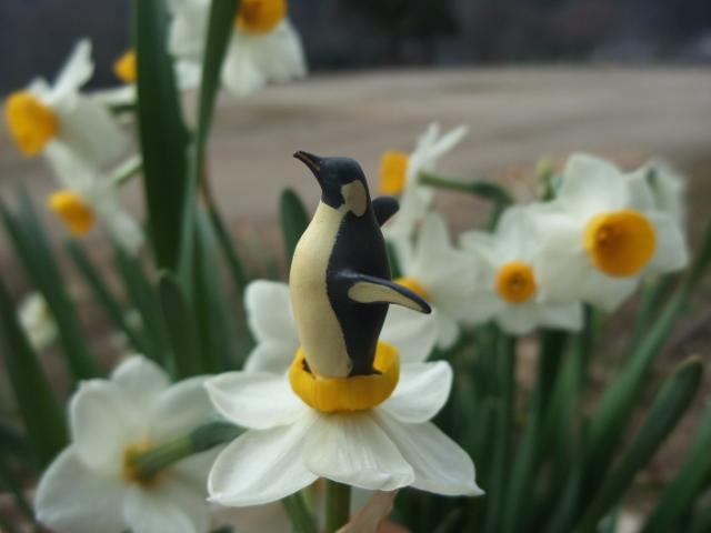 スイセンからペンギンが生まれた!