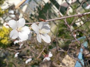 小さな桜。