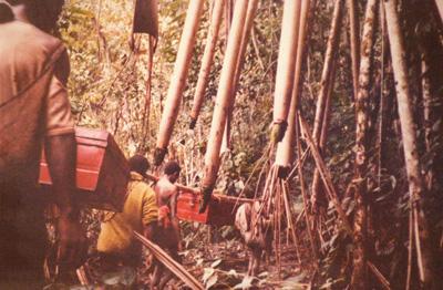 マングロープの林を行く