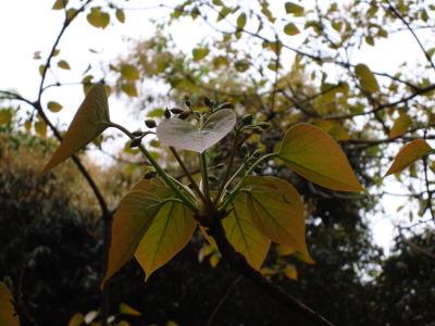 シナアブラギリ花序