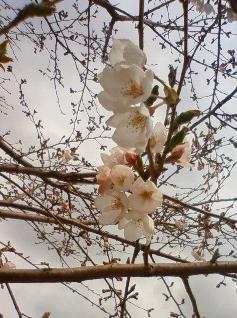 20090331sakura.jpg
