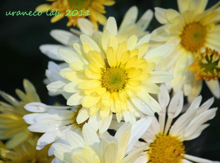 11月21日黄色と白の小菊2