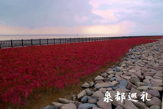 20081116佐賀シチメンソウ01