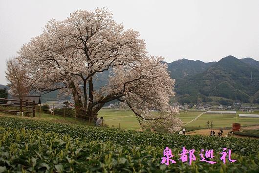 20090329hyakunensakura02.jpg