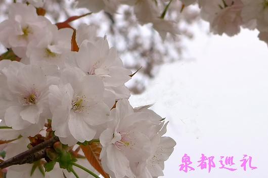 20090329hyakunensakura04.jpg
